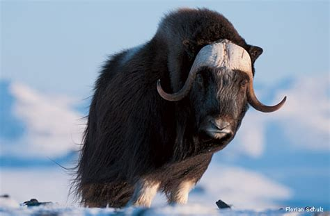 """""""The Arctic Ox (or Goat)"""" by Marianne Moore - E-Verse"""