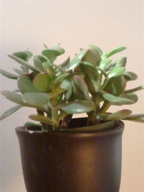 How to Propagate a Jade Plant   Dengarden