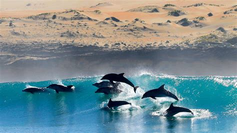 Superpods of 600 dolphins are gathering off the coast of